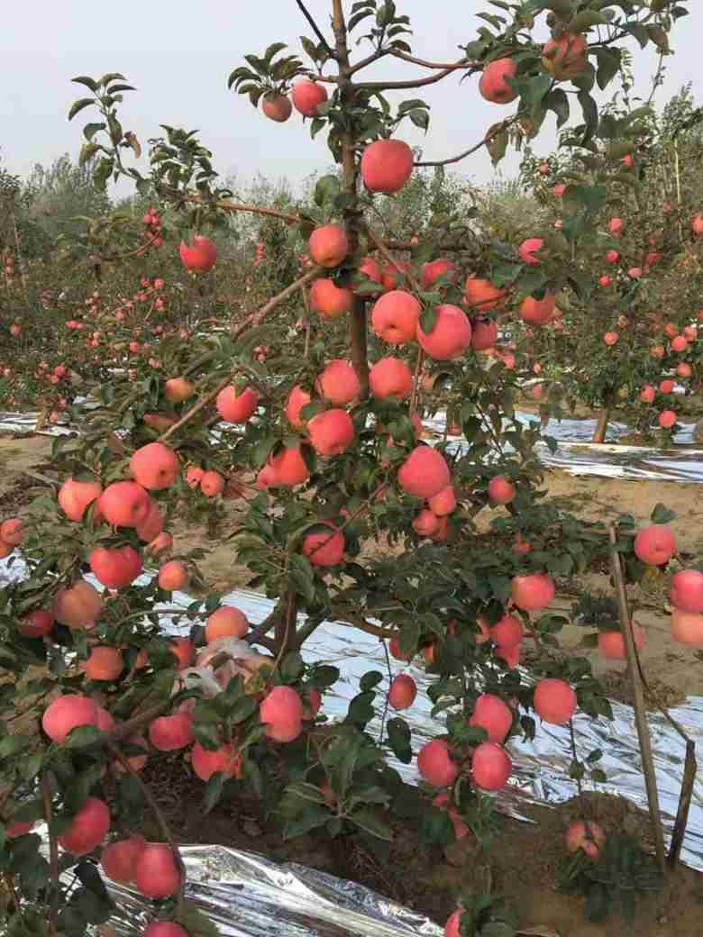 明月苹果苗新价格安庆