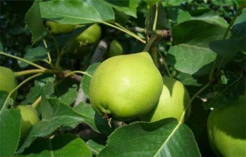 辽宁梨树苗一亩地利润
