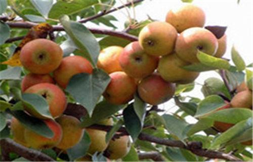 辽宁苹果梨树苗亩产多少