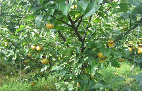 辽宁爱宕梨树苗种植方法