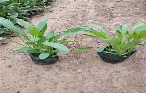 枣庄水蜡栽植效果