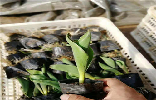安庆大花金鸡菊生产基地