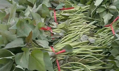 攀枝花济薯26产地