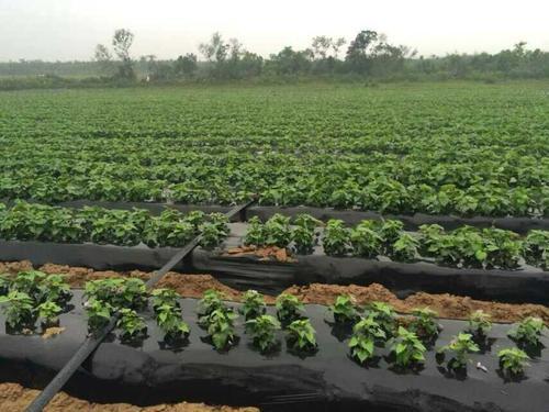 河源红薯苗多年种植经验