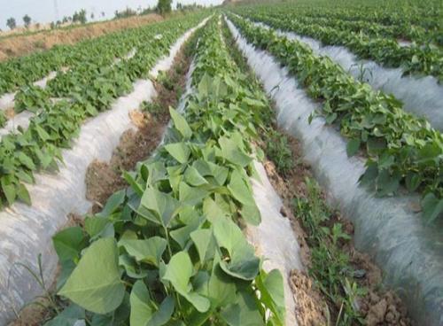 攀枝花红薯苗种植时间