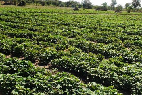 攀枝花济薯26繁育基地