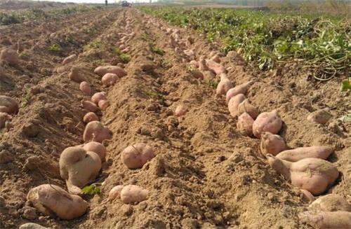 驻马店红薯苗欢迎实地考察