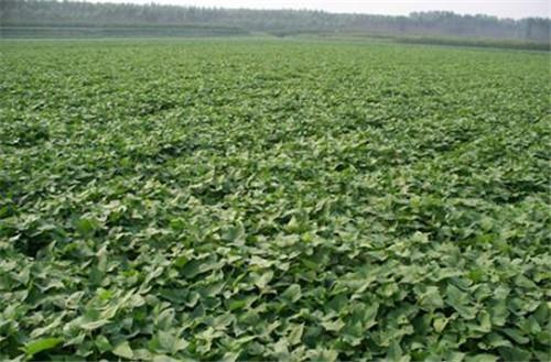 攀枝花商薯19成活率高