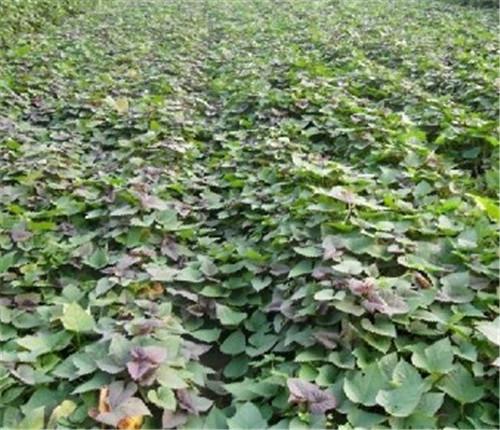 攀枝花红薯苗生产基地