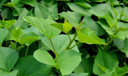 攀枝花红薯苗免费指导栽培