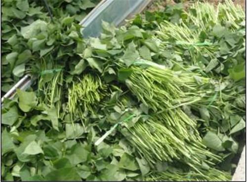 攀枝花红薯苗自产自销
