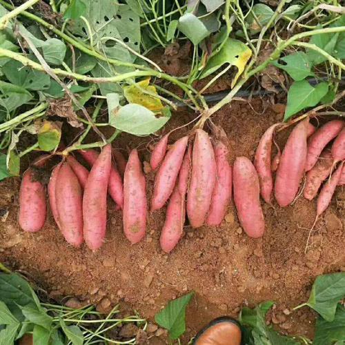 驻马店济薯26确保成活