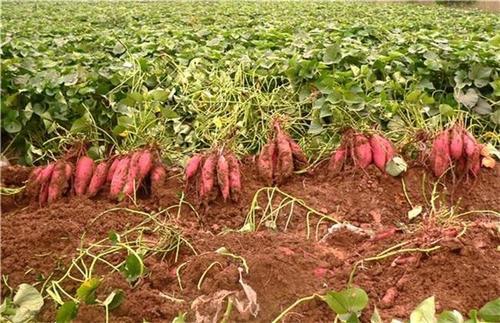 攀枝花济薯26品种纯正