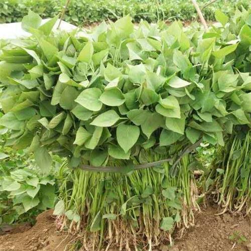攀枝花济薯26生产基地