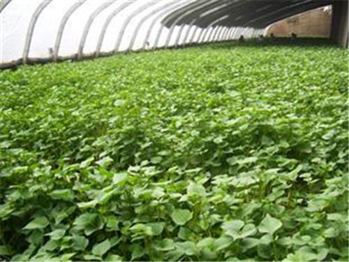 攀枝花商薯19示范基地