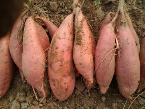 攀枝花商薯19批发基地