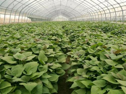 攀枝花商薯19示范园