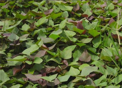 德阳紫薯种子栽培技术