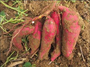 德阳紫薯苗免费提供技术