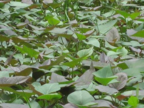 本溪紫红薯苗大量批发市场
