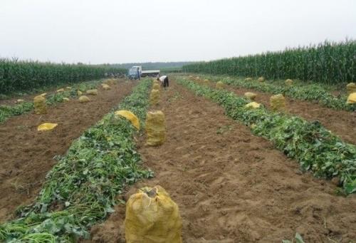 德阳红薯苗质优价廉