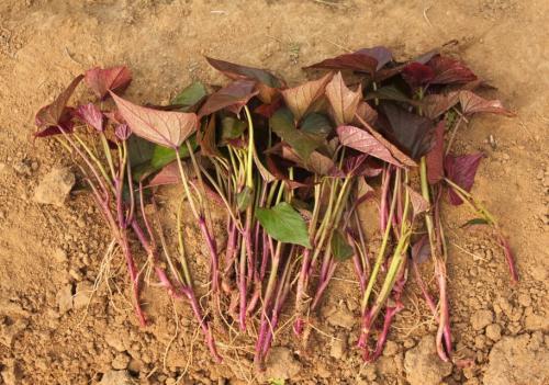 张家界紫红薯苗可提前预定