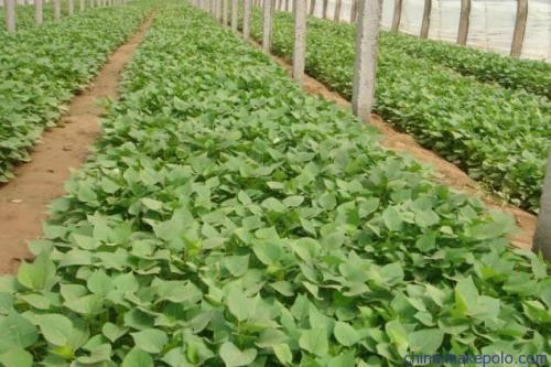 本溪紫薯种子新价格行情