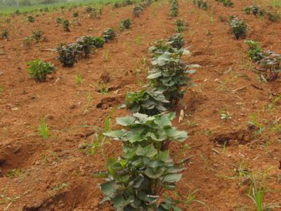 德阳紫薯苗子种植基地