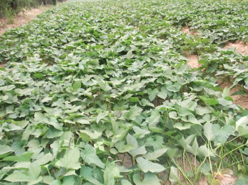 常州地瓜苗栽培时间
