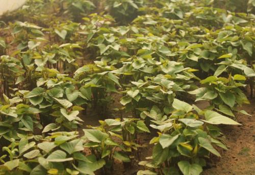 本溪紫红薯苗基地