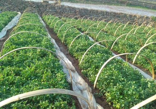 本溪紫色地瓜苗发货起苗