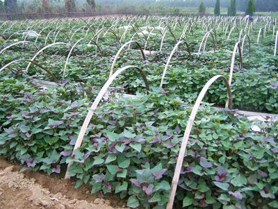 本溪紫薯苗子成活率高