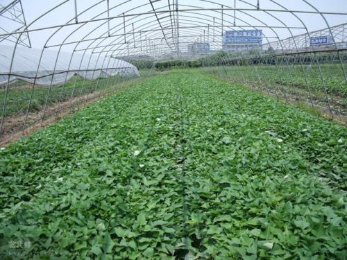 常州紫甘薯苗种植方法