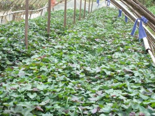 本溪紫甘薯苗价格