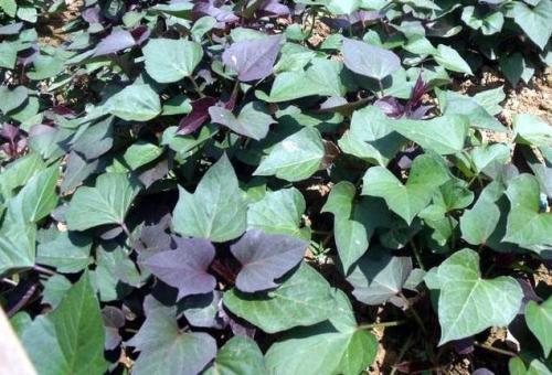 德阳紫薯苗子示范基地