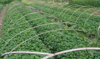 德阳紫甘薯苗种植基地