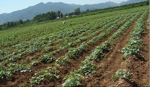 德阳紫薯苗产地价格