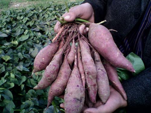 德阳紫色地瓜苗种植基地