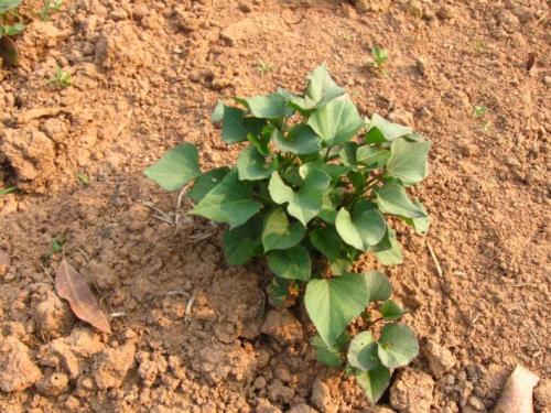 德阳地瓜苗子种植方法