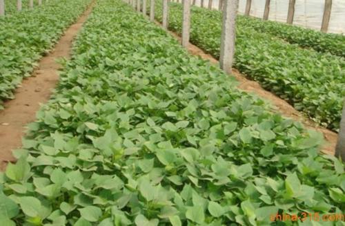 德阳紫甘薯苗种植时间