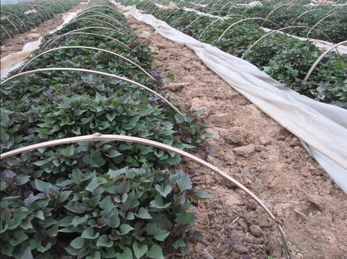 德阳紫薯种子品种繁多