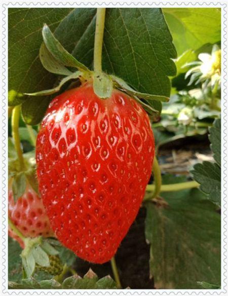 平顶山南部高丛蓝莓树苗哪里的便宜