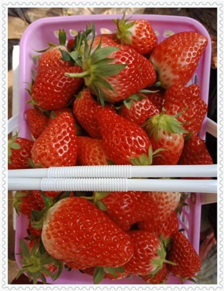 山东军号蓝莓树苗种植技术