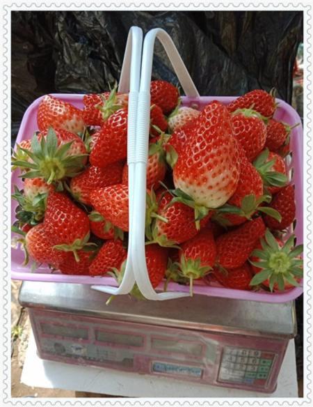 山东N-B-3蓝莓树苗哪里的价格低