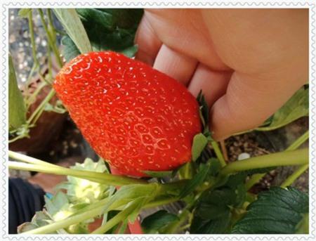 阳江维口蓝莓树苗怎么卖