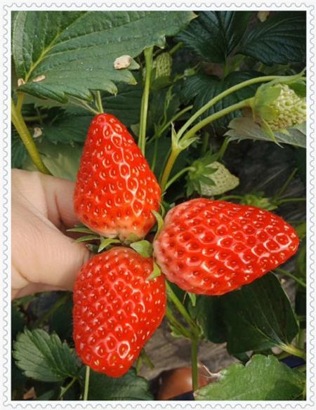 山东甜粒星蓝莓树苗批发低价