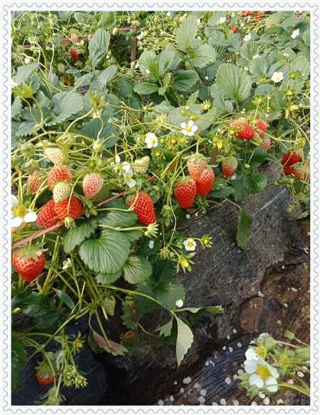 山东伯克利蓝莓树苗基地图片