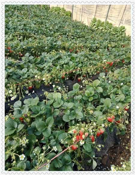 锡林郭勒哈里森蓝莓树苗