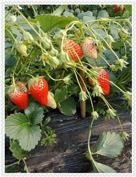 海北蓝片蓝莓树苗产地价格