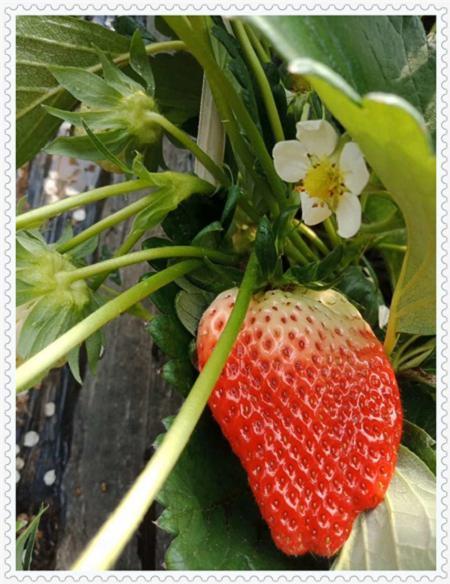 山东蓝塔蓝莓树苗种植方法及时间